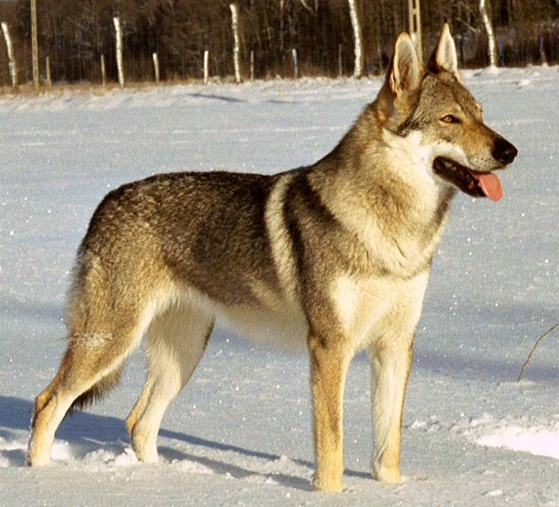 tjekkoslovakisk-ulvehund-17twhjolly.jpg