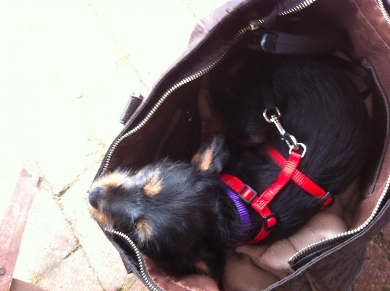 Lily 10 uger taskehund.jpg